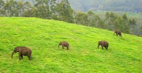 Essence of Kerala 5 Nights/ 6days, Munnar - Thekkady - Kumarakom - Alleppey